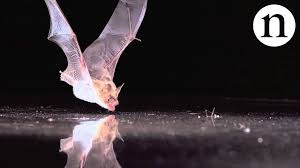 Are Bats Blinded By Light Echolocation And Its Discontents Atlas Obscura