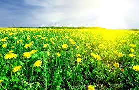 grass field background with flowers. Field Of Grass With Dandelion On Background Distant Wood In Sunset, Stock Photo Flowers