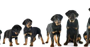 Rottweiler Size Chart 63 Genuine Rottweiler Weight Calculator