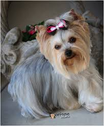 yorkie hairstyles unique 21 best yorkie haircuts images on