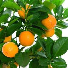 Fruit Salad Trees Bear 6 Different Kinds Of Fruit On One Plant Medley Fruit Tree