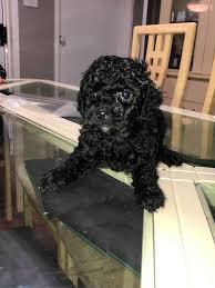shmoodle puppies purebred toy poodle x maltese shihtzu
