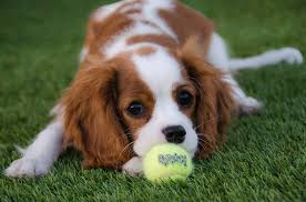 cavalier king charles spaniel playing with ball