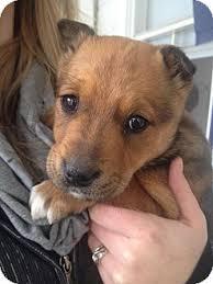 bull terrier german shepherd mix. Interesting Shepherd Saskatoon SK  Staffordshire Bull Terrier Meet Lilo A Dog For Adoption With Terrier German Shepherd Mix E