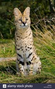 Gatto del Serval Foto stock - Alamy