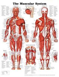 20x26 The Muscular System Anatomical Chart Poster Print By