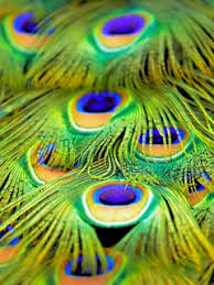 peacock wallpaper for mobile. Brilliant Peacock On Peacock Wallpaper For Mobile A