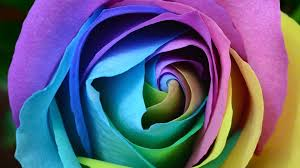 hd beautiful rose flower wallpaper