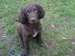 German Longhaired Pointer Dog On The