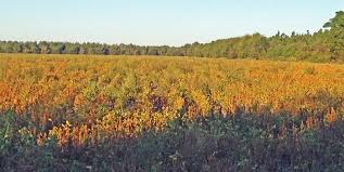Palmer Amaranth Adaptability Panhandle Agriculture