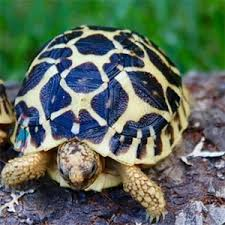 Indian Star Tortoise Diet Chart Indian Star Tortoise Care Sheet Diet Habitat Lifespan