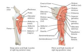 Upper Leg Muscle Chart Muscles Of The Hips And Thighs Human Anatomy And