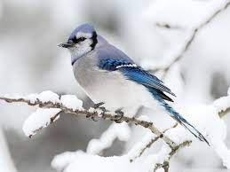 Winter Birds Desktop Wallpapers - Top ...
