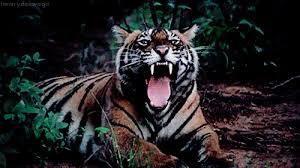 tiger roar tumblr. Perfect Tumblr Inside Tiger Roar Tumblr K