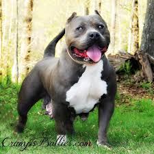 newage pitbulls xtreme xl l gottiline blue nose bully pitbull kennel biggest largest blue nose pitbull puppy kennel