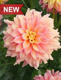 dinner plate dahlias for sale uk. papaya dahlia is a new dinner plate variety from holland. peachy, orange, dahlias for sale uk r