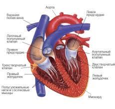 Строение сердца урок Биология Человек класс  Строение сердца2 внутр png