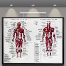 Internal Human Anatomy Chart Details About Human Body Muscle Anatomy System Poster Anatomical Chart Educational Poster