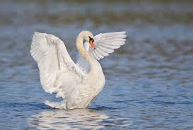 mute swan flapping det extr robt w3c2788 east