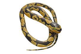 ball python. ball python rubber snake - 72 image