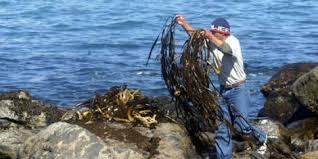 Resultado de imagen para cochayuyo en el mar
