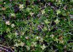 Flora of Zimbabwe: Species information: Sagina apetala
