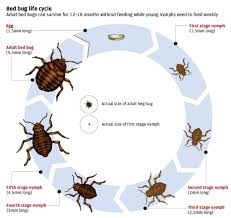 Size Of Bed Bugs Chart About Bed Bugs True Heat Solutions