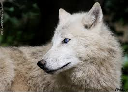 white wolf pup with blue eyes. Fine White Unfortunately Blueeyed By Woxys  With White Wolf Pup Blue Eyes