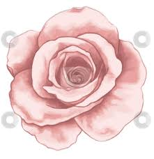 Small Picture Drawn rose pink rose Pencil and in color drawn rose pink rose