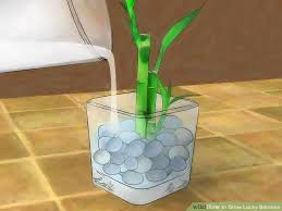 image titled grow lucky bamboo step 6