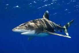 Types Of Sharks Chart The Deadliest And Most Dangerous Shark Species