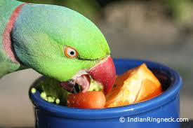 Parrot Diet Chart Feeding Your Indian Ringneck Indianringneck Com