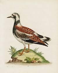 George Edwards 1743 Heron, Crane, Pelican, Penguin Prints