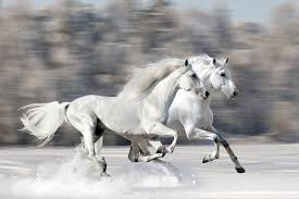 white horses in snow. Wonderful Horses Two White Horses In The Snow  And In N