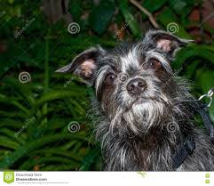 black and white terrier mix. Plain Terrier Download Portrait Of A Black And White Border Terrier Mix Dog Looking Up  Stock Photo Intended O