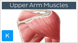 arm blade name. muscles of the upper arm and shoulder blade - human anatomy | kenhub youtube name y