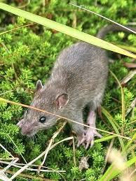 keep rats out of garden keep rats out of garden rat in a suit garden ornament keep rats out of garden