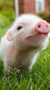 baby pigs, pig wallpaper ...