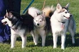 alaskan klee kai size alaskan klee kai puppies and dogs for sale in usa