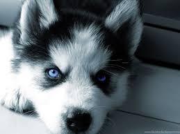 husky puppies wallpaper. Fine Puppies Fullscreen In Husky Puppies Wallpaper A