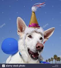 Dog Birthday Decorations White German Shepherd With Happy Birthday Decorations And Balloons