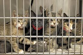 cats in animal shelters. Exellent Shelters Cats Are Seen At The East Valley Animal Shelter In Van NuysDaily News Intended In Shelters T