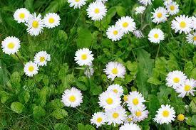 Winter color: English daisy