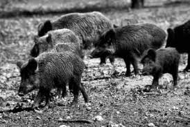 TPWD: Feral Hogs