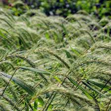 Image result for Virginia Wild Rye