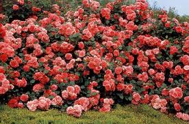 Los Rosales En Flor Cuidados 26 Abril 2013  YouTubeCuidados De Los Rosales