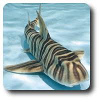 Types Of Sharks Chart Learn About All The Different Types Of Sharks Here Shark Sider