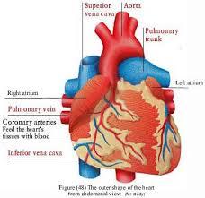 Урок биологии по теме Строение и работа сердца й класс i Мотивационный этап подготовка к активному осознанному восприятию темы