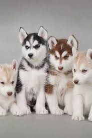 cute dogs and puppies husky. Wonderful Husky Multicolor Huskies If You Want To See The Full Image It Is On  Siberescue Website On Cute Dogs And Puppies Husky N