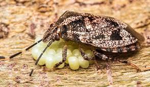 where do bed bugs lay their eggs